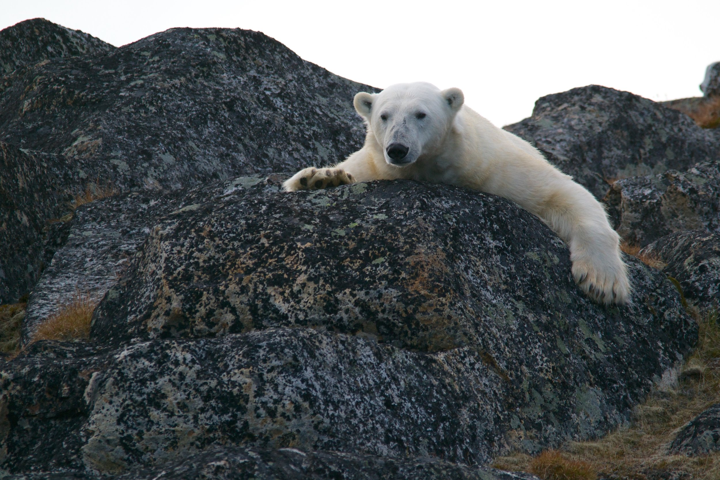 A polar bear lying on a rock with no snow in sight